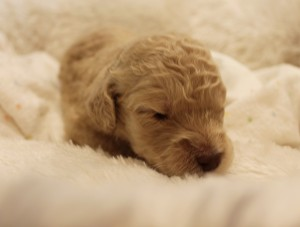 Australian Labradoodles puppies Oregon Washington.
