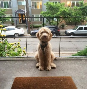 cream male labradoodles in Portland and Seattle.