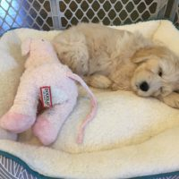 Australian Labradoodle puppies available now Oregon Salem Portland Seattle