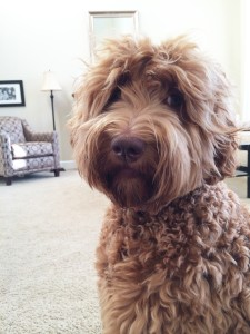 Standard labradoodle puppies in black, cream or red in Oregon and Washington.