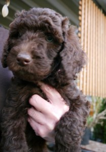 standard labradoodle puppies in Oregon, cream male and apricot and red in Washington.