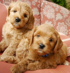 Oregon labradoodle puppies available, Washington, standards and mini's in red, black, caramel and chocolate.
