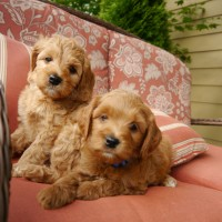 Oregon Labradoodle puppies standards and mediums in Washington and Idaho.