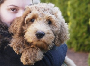Mini and Standard Australian Labradoodle puppies like this one available soon in Oregon.