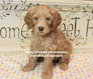 Oregon and Washington breeder of labadoodle puppies in standard size.