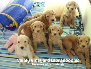 Photo gallery of Valley Vineyard Labradoodles, Seattle and Portland.