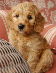 Oregon labradoodle puppies available, standards and mini's in red, cream, black, caramel and chocolate.