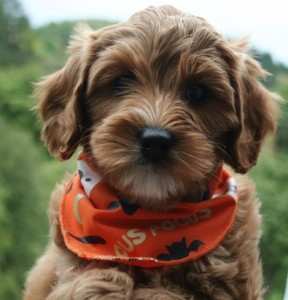 Sample pup from previous litter, compliments of Ladd Hill Labradoodles.