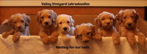 Cream labradoodle puppies available in Oregon and Washington.