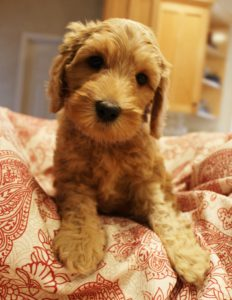 Labradoodle puppies Portland Salem Oregon