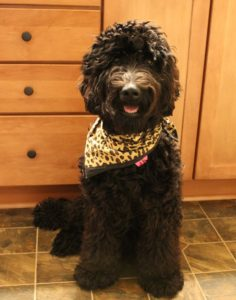 black australian Labradoodle puppies summer available Portland Seattle