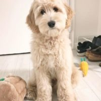 Labradoodles Portland Salem Seattle Redding