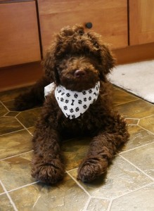 Chocolate standard Australian Labradoodle puppy in Oregon.