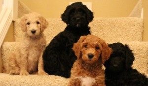 Australian labradoodle breeder cream, red, caramel puppies.