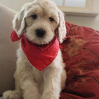 Cream australian Labradoodle puppies in Idaho and Portland Oregon.