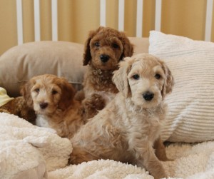 It's a great life in Oregon, raising labradoodle puppies!