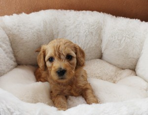 Australian Labradoodle puppy breeder in McMinnville Oregon and Washington.