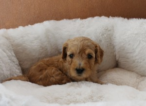 Labradoodle puppy breeder in McMinnville Oregon.