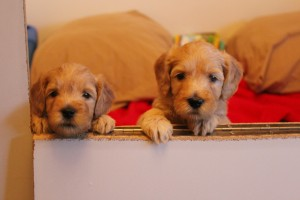 Labradoodle puppy breeder in Salem Oregon,