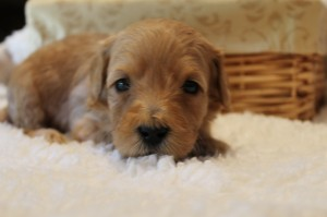 McMinnville, Seattle Washington labradoodle puppies, small breeder.