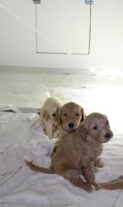Labradoodle puppies, multi-gen, Oregon, standard, black, red, cream.