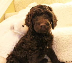 labradoodle puppies in Oregon and Idaho