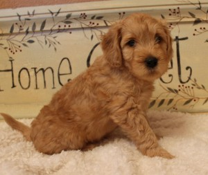 Labradoodle puppies in Oregon and Washington, Seattle.