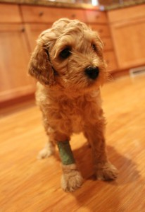 Early spay neuter, Valley Vineyard Labradoodle puppies breeder.