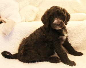 Labradoodle puppies in Sherwood Oregon
