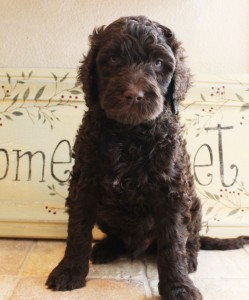 Labradoodle puppies, large standards puppies in Oregon.