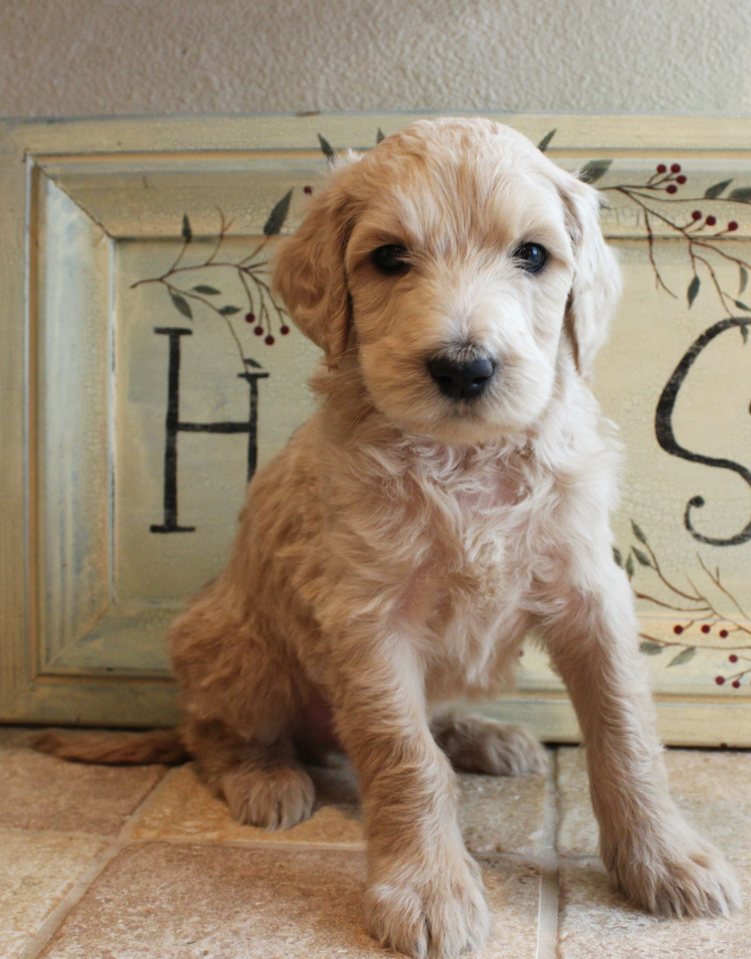 We have one labradoodle puppy available now!