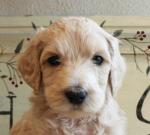 Cream labradoodle puppies.