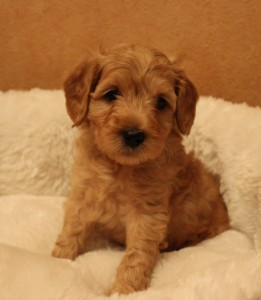 Labradoodle Breeder Beaverton Salem Portland Seattle