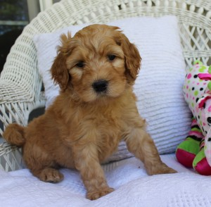 Labradoodle puppies black chocolate cream red standard in Oregon and Portland.