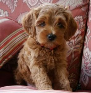 Labradoodle, standard, puppies, Oregon, Washington, mini, medium, apricot, black, caramel, chocolate, cream, red Australian breeder pups
