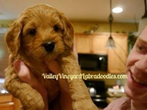 Oregon Labradoodle breeders Beaverton Seattle Salem Vancouver