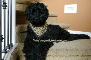 Labradoodle breeder of standard puppies in black in Portland Oregon, California, Idaho and Washington.