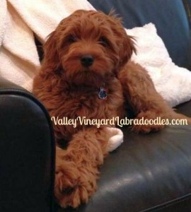 Australian Labradoodle puppies in Oregon.