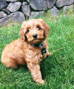labradoodle puppies reds blacks standards mediums Oregon Portland Salem