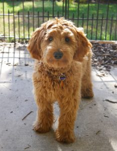 Australian Labradoodle breeders Oregon Washington