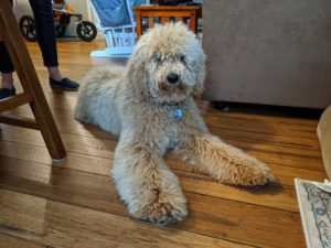 best Oregon labradoodle breeder