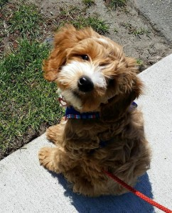 Labradoodle puppies available in Salem and Portland Oregon and Washington.