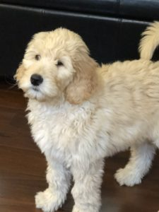 Australian labradoodle puppies now Oregon Washington Portland