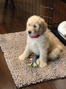 standard labradoodle puppies now