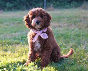 Australian labradoodle puppy breeders