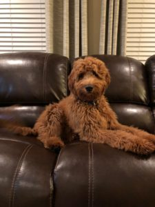 standard labradoodle puppies available now Portland Salem Oregon