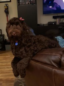 labradoodles best breeder Oregon