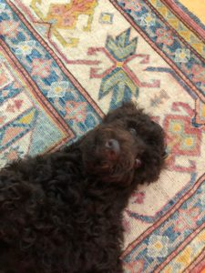 Australian Labradoodle puppies now Oregon Seattle Vancouver