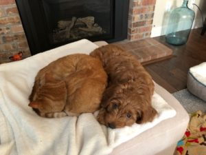 Testimonials about our Labradoodle puppies - Valley Vineyard