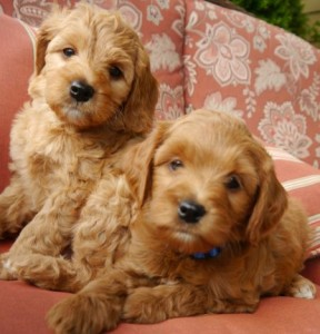 Labradoodle puppies red and black standard in Oregon, Washington, California and Idaho breeder.